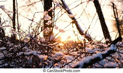 Sunset rays break through the branches of trees and bushes in the snow forest, slow motion
