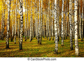 Sunset rays of the sun in a golden birch grove in autumn in october