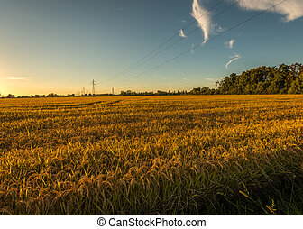 Sunset rice field