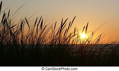 Sunset Silhouettes of dune grass - Dark Silhouettes of dune ...