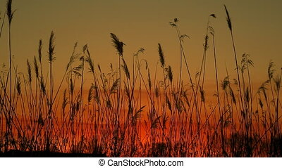 sunset sky clouds bulrush close-up of the reed in the wind against at sunset
