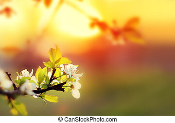 Sunset. Spring blooming white cherry flowers on a blurred background orange sun on the horizon. Blurred space for your text.