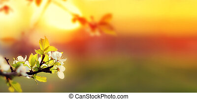 Sunset. Spring blooming white cherry flowers on a blurred background orange sun on the horizon. Banner for website. Panorama. Blurred space for your text.