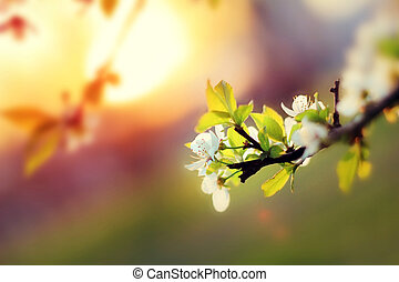 Sunset. Spring blooming white cherry flowers on a blurred background orange sun on the horizon. Blurred space for text.