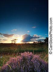 sunset sunbeams over flowering heather, Drenthe, Netherlands