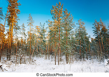 Sunset sunrise in beautiful winter snowy forest