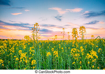 Sunset Sunrise Over Spring Flowering Canola, Rape, Rapeseed, Oilseed