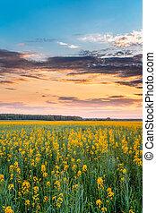 Sunset Sunrise Sky Over Horizon Of Spring Flowering Canola, Rapeseed