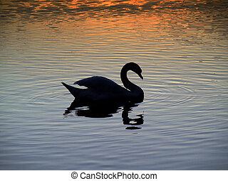 Sunset - swan