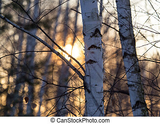 Sunset through the branches of trees in the forest