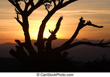 Sunset through the Old Fig Tree