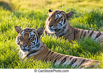 Sunset Tigers - Tigers in the sunset in Kwantu Game Reserve,...