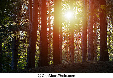 Sunset trough the trees in forest