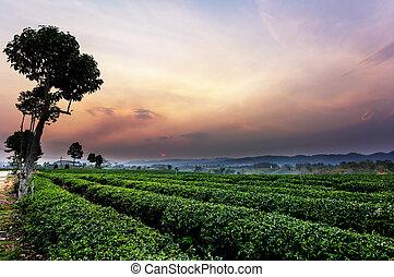 Sunset view of tea plantation landscape