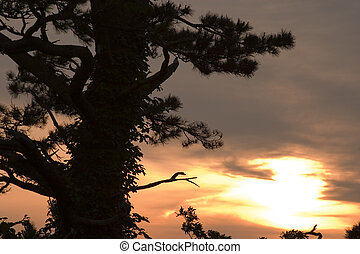 Sunset with Pine