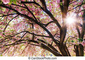 Sunshine cherry blossom