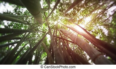 Sunshine Filtering through Stand of Giant Bamboo in Sri...