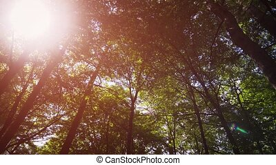 Sunshine filters through the leaves and branches of tall trees in this forest wilderness in Eastern Europe, from a low angle perspective. Ultra HD stock footage