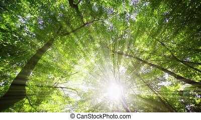 Rays of golden sunshine filter throught the green leaves and branches of a high tree canopy in this Ukrainian forest wilderness.