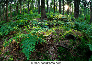 sunshine in coniferous forest