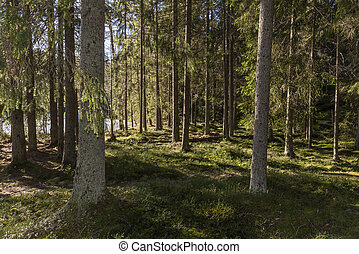 Sunshine in forest in Sweden in winter