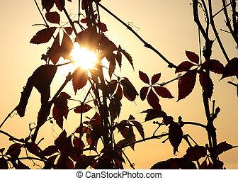 sunshine in leaves of vine