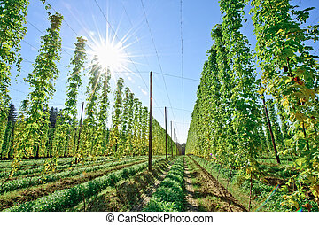 Sunshine in the Hop Field - Growing Hop shortly before...