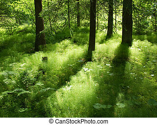 sunshine in the understorage of a coniferous forest in...