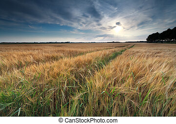 sunshine over wheat field in summer