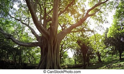 Sunshine Peaks through Branches of Mature, Tropical Tree,...