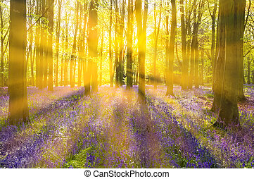 Sunshine streams through beech trees in bluebell woods of Oxfordshire