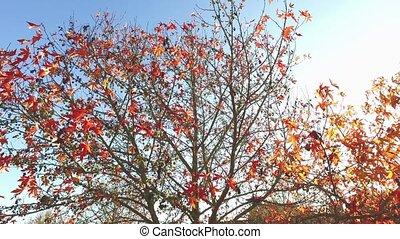 Sunshine Through Leaves, colorful trees autumn beauty