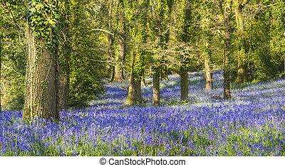 Sunshine through the leaves in bluebell woods in Dorset