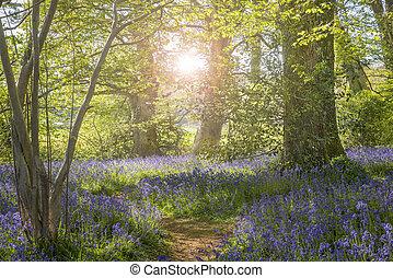 Sunshine through the leaves in bluebell woods in Dorset -...