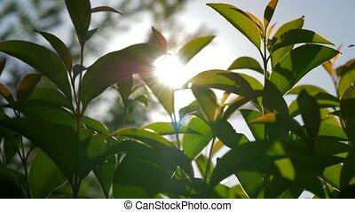 Sunshine through the young trees - Bright summer sun shining...