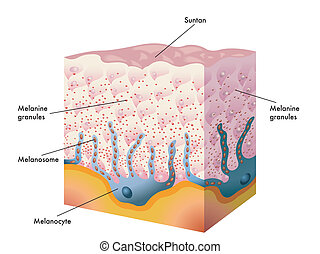 suntan - medical illustration of the tanning process
