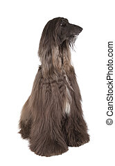Afghan Hound - Sunward Edelweiss Afghan Hound International...