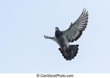supérieur, aile, de, pigeon voyageur, oiseau, flotter, par,...