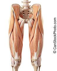 supérieur, muscles, jambe