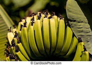 Super Dwarf Cavendish banana fruit Musa acuminate in an organic garden