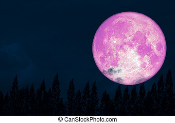 super full pink moon back on silhouette pine on night sky