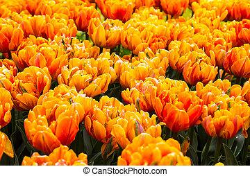 Super orange spring tulips in a garden