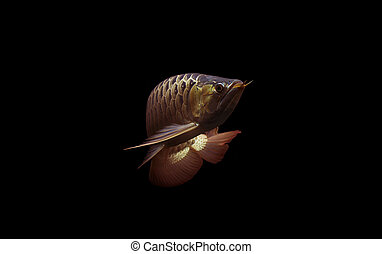 Super Red Arowana on black background.
