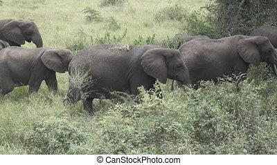 Super slow-mo of group of elephants walking