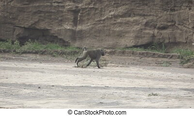 Super slow motion of baboon running on dry river
