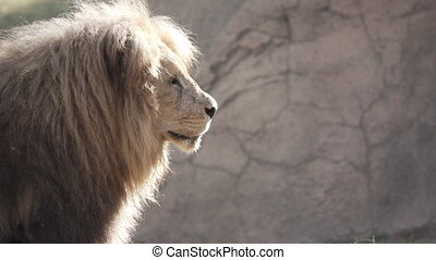 Slow Motion of old Lion turning head - Super Slow Motion of...