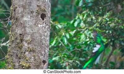 Super Slow-motion of Quetzal bird landing to nest