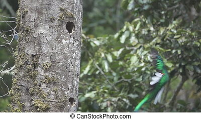 Super Slow-motion of Quetzal bird landing to nest in flat...