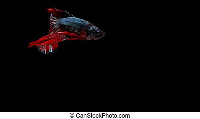 Super slow motion of RED Siamese fighting fish (Betta...