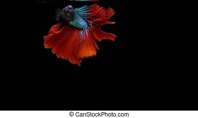 Super slow motion of vibrant Siamese fighting fish (Betta...
